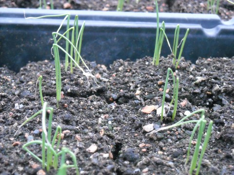 onion-seedlings