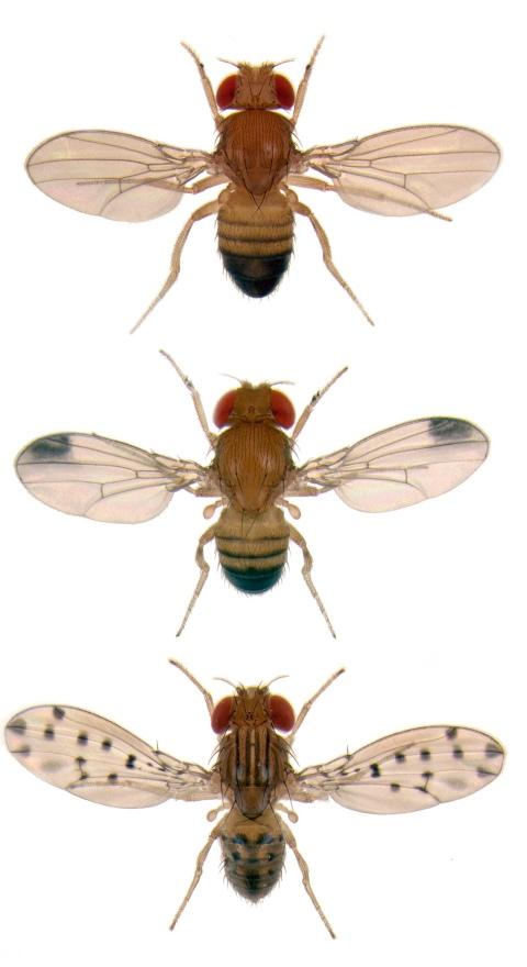 fruit_fly_mont-droso04